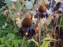 Cone flower, dressed in black. (Echinacea / Rudbeckia)