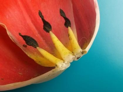 gr-tulip-05