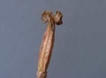 gr-tulip-18